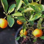 jeruk kalamansi dan manfaatnya